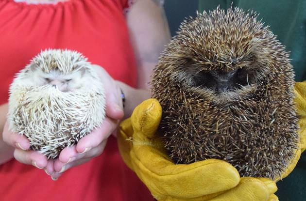 Hedgehog Day Hogs